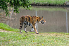 Tiger. Walking tiger near pool. Mauritius, Casela park Stock Image