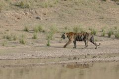 Tiger walking near water hole in Bandhavgarh National Park. Madhya Pradesh, India Royalty Free Stock Photo
