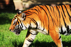 Tiger walking open mouth Royalty Free Stock Image