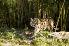 Tiger walking out from dark forest Stock Photos