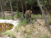 Tiger walking at park. Tiger is going towards water pool to drink water. close snap of tiger from back side Stock Images