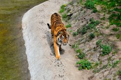 Tiger. Walking by the pond Royalty Free Stock Image