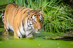 Tiger Walking on Pond Near Plants Stock Photos