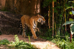 Tiger walking. A rare endangered tiger walking Stock Images