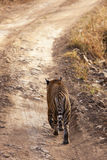 Tiger on the prowl. Royalty Free Stock Images