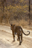 Tiger on the prowl. Tiger walking on the road, Ranthambore National Park - Rajasthan, India Stock Photos