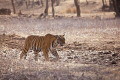 Tiger on the prowl. Tiger walking on the road, Ranthambore National Park - Rajasthan, India Royalty Free Stock Images