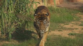 Tiger walking. Tiger walking straight to camera in national park stock footage