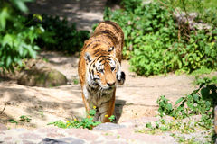 Tiger walking towards camera Stock Images