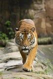 Tiger walking towards camera. Tiger looking and walking straight towards camera Royalty Free Stock Image