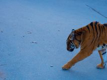 A Tiger Walking towards someone royalty free stock photography