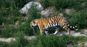 Tiger walking on the trail