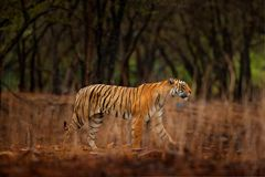 Tiger walking between trees. Indian tiger female with first rain, wild animal in the nature habitat, Ranthambore, India. Big cat, Royalty Free Stock Photography