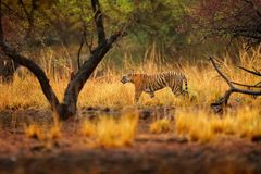 Tiger walking between trees. Indian tiger female with first rain, wild animal in the nature habitat, Ranthambore, India. Big cat, Stock Photo
