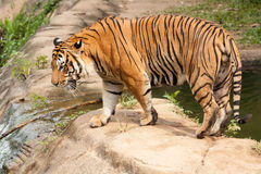 Tiger. Walking trough a pool Royalty Free Stock Photos