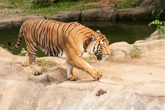 Tiger. Walking trough a pool Stock Images