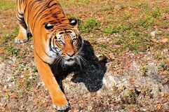 Tiger walking, watching Stock Photography