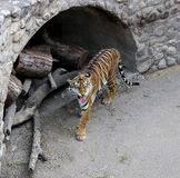 Tiger. Walking in zoo Royalty Free Stock Photography