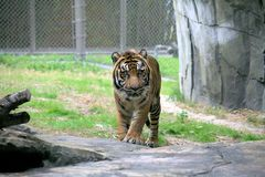 Tiger walking in zoo enclosure. A beautiful tiger walking towards the camera in a zoo enclosure staring towards the photographer royalty free stock images