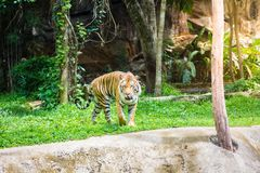 Tiger is walking royalty free stock images