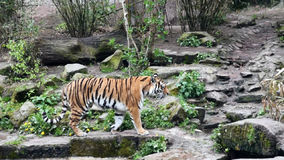 Tiger walks around the pen in the zoo stock video