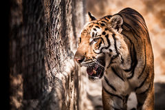 Tiger walks in a cage Royalty Free Stock Photo