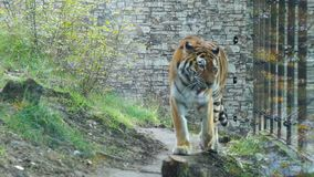 Tiger walks in the enclosure of the zoo stock footage