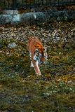 Tiger walks on the grass. Wild animal royalty free stock photography