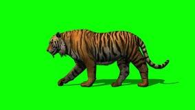 tiger walks 2 - green screen