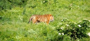 Tiger Walks in Jungle Stock Photo