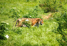 Tiger Walks in Jungle Stock Photography
