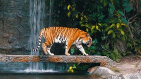 The tiger walks on the rock near the waterfall. Thailand