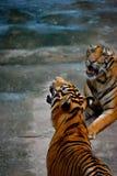Tiger wartet auf die Fütterung lizenzfreies stockbild