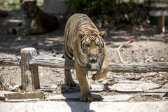 Tiger. The tiger was crossing a fence Stock Images