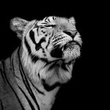 Tiger was happy Royalty Free Stock Photography