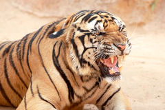 Tiger was raised in temples. Royalty Free Stock Image