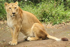 Lioness looking to photographer Stock Images