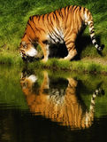 Tiger water. Tiger cat on the waterfront Royalty Free Stock Photography