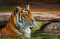 Tiger in water. East Asian tiger resting in water Royalty Free Stock Photography