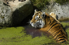 Tiger in the water. A tiger in the water at a wildlife park Stock Photography