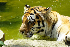 Tiger in water Royalty Free Stock Photography