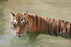 Tiger in water Royalty Free Stock Image