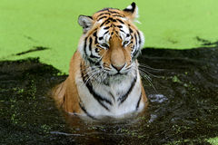 Tiger in water. With algae in Royalty Free Stock Photo