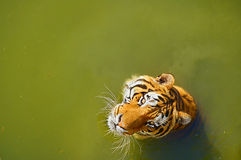 Tiger in water. Big siberian tiger in green water Royalty Free Stock Photo