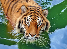 Tiger in water. Beautiful large bengal tiger in water Royalty Free Stock Photos