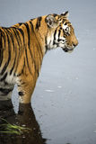 Tiger in Water Royalty Free Stock Images