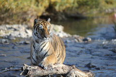Tiger in water Stock Photo