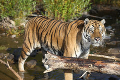 Tiger in water Stock Image
