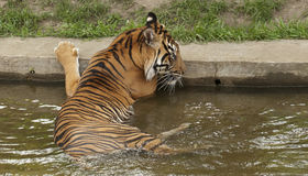 Tiger in the water. The tiger is the largest cat species Stock Photography