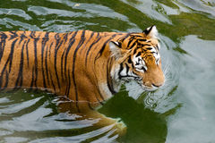 Tiger In The Water Royalty Free Stock Photography